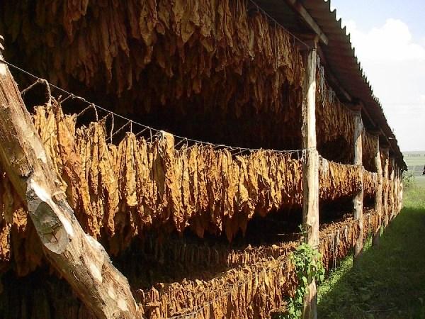 листьев табака